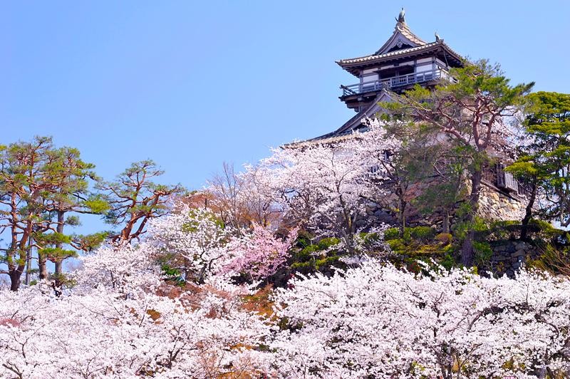 丸岡城天守と桜